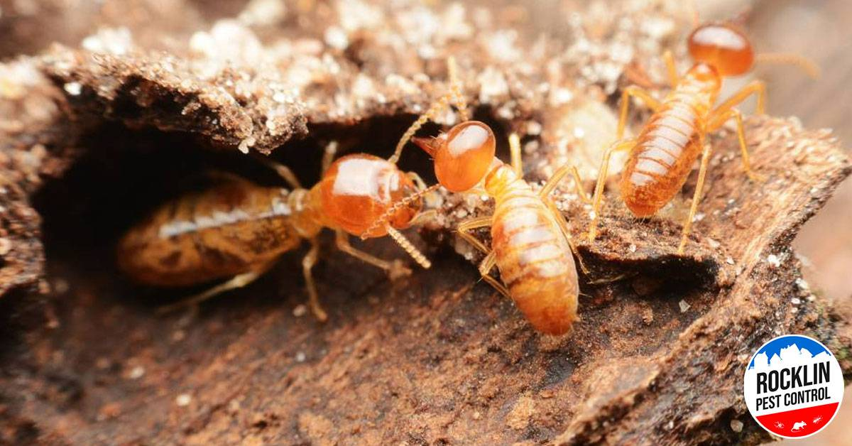 things you need to know about termites in your home