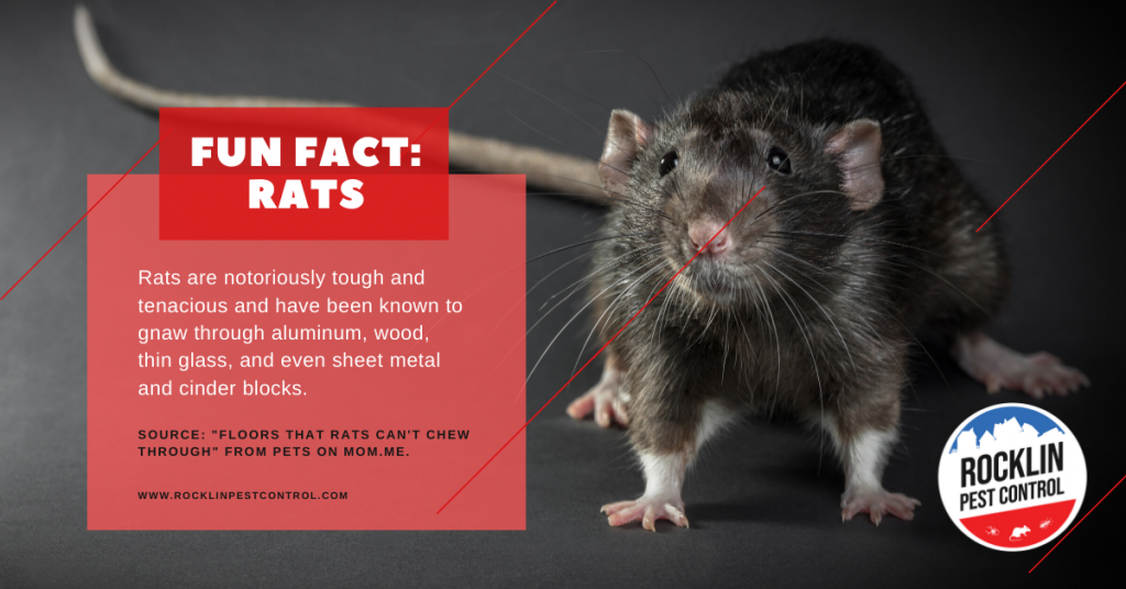A fun fact about rats | Summer pest control tips from Rocklin Pest Control.