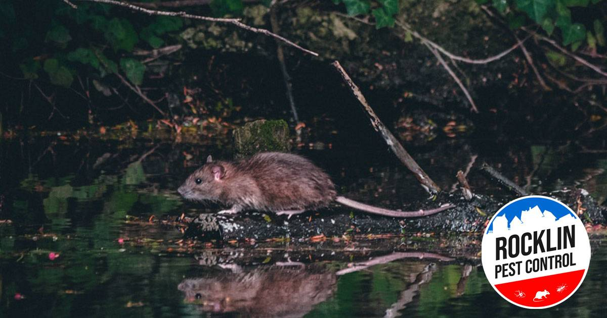 6 Reasons Why Rats Are Probably the Most Dangerous Household Pests Around   Rocklin Pest Control