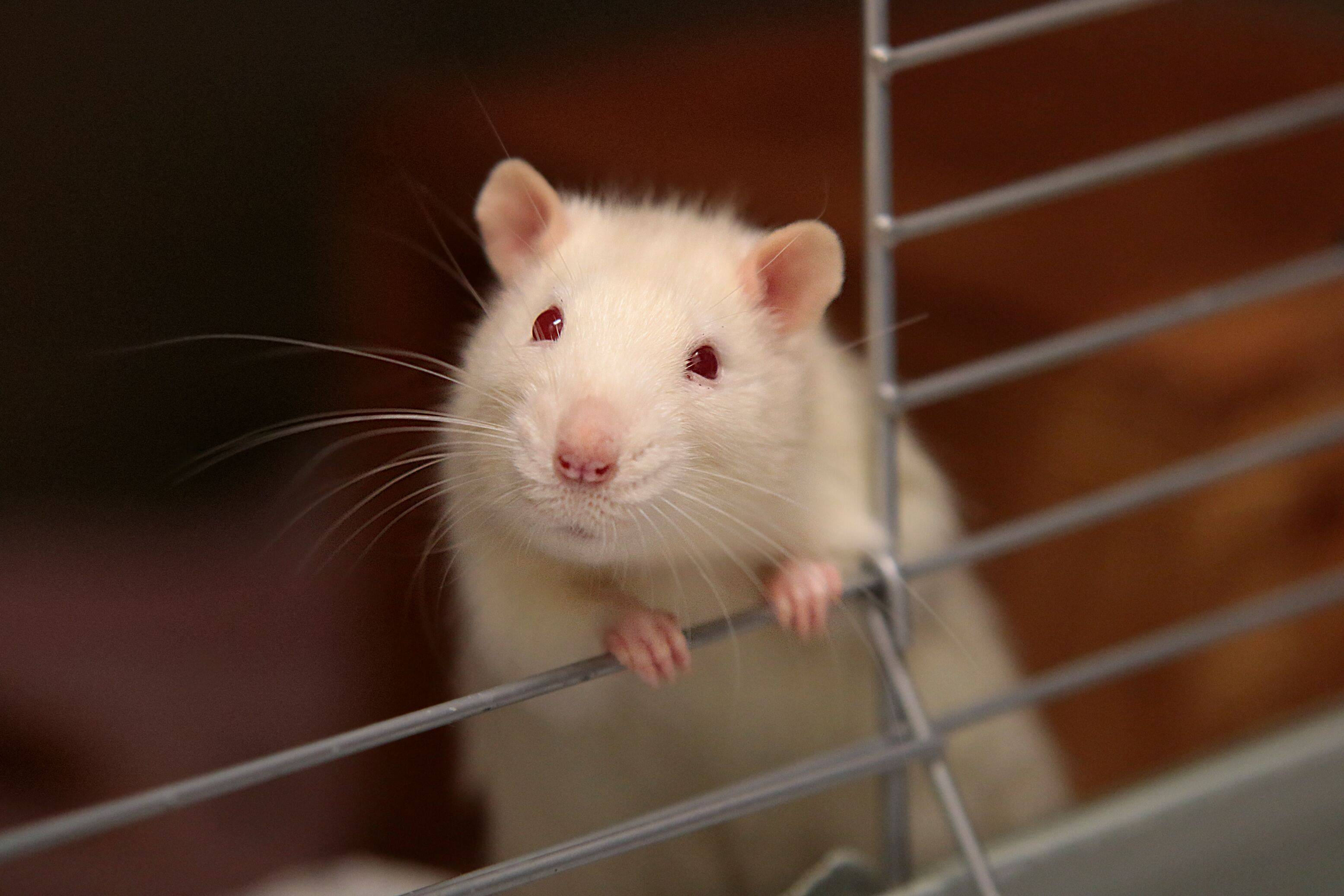 What Is The Difference Between a Rat, a Mouse, and a Rodent?   Rocklin Pest Control