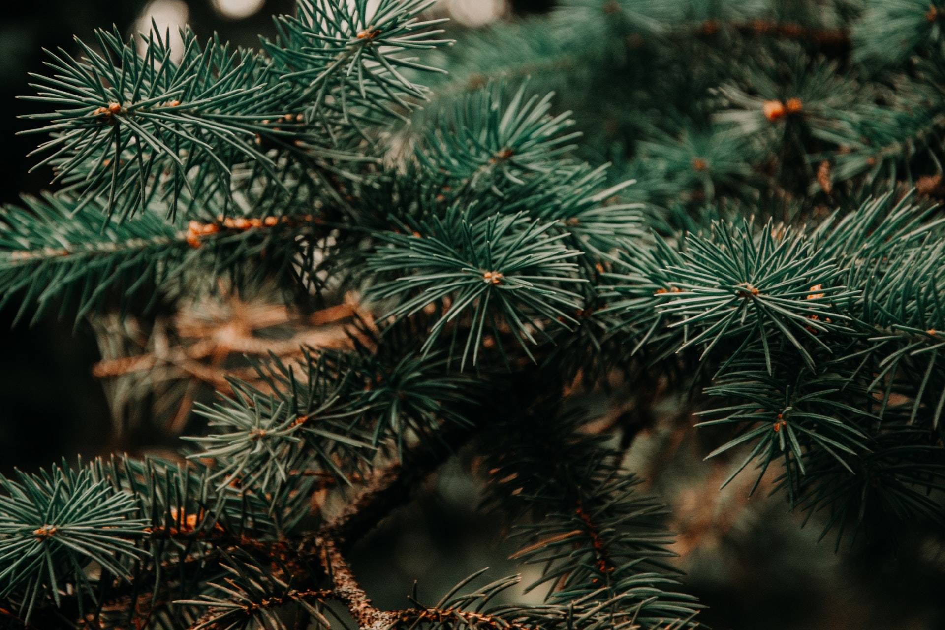 7 Nasty Little Critters You Might Find In Your Christmas Tree   Rocklin Pest Control
