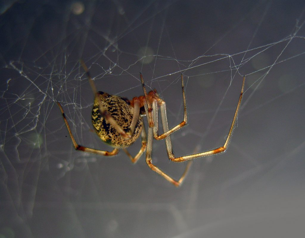A spider spinning a web | Spider pest control by Rocklin Pest Control | www.rocklinpestcontrol.com