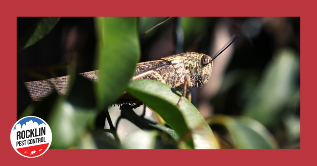 Crickets up close in this featured image from Rocklin Pest Control | www.rocklinpestcontrol.com