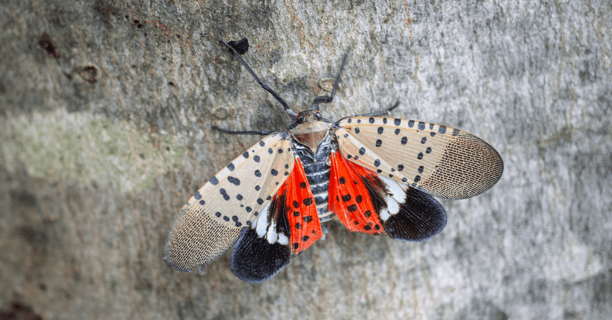 Should We Be Worried About the Spotted Lanternfly? | Rocklin Pest Control