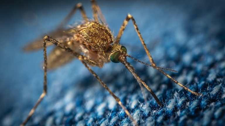 Mosquito Season: Why These Bloodsuckers Love the Summer Heat?
